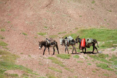 Domestic donkeys with seddles walk on the mountain path Royalty Free Stock Photos