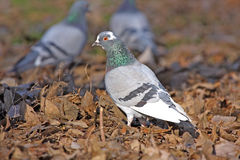Domestic dove. (columba livia domestica) standing on dry leafs Royalty Free Stock Photo