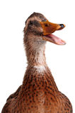 Domestic duck. Young domestic duck isolated on white background Royalty Free Stock Photo