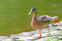 Domestic duck. On background pond Royalty Free Stock Images