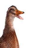 Domestic duck Royalty Free Stock Photography