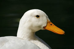 Domestic duck (Anas platyrhynchos) Royalty Free Stock Photography