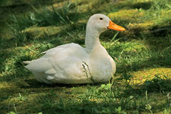Domestic duck (Anas platyrhynchos) Royalty Free Stock Photo