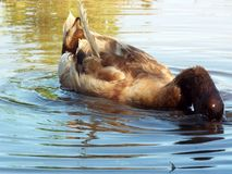 Domestic duck. A brown domestic duck feeding on a pond Royalty Free Stock Image