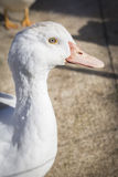 Domestic duck, domestic white ducks. Naturally fed ducks Stock Images
