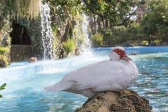 Domestic duck, domestic white ducks Stock Photo