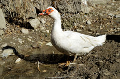 Domestic duck, domestic white ducks,naturally fed ducks Royalty Free Stock Photos