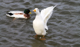 Domestic Duck. Flapping wings, Mallard on background Royalty Free Stock Image