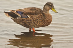 Domestic duck Royalty Free Stock Photos
