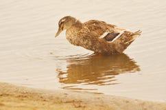 Domestic duck Stock Photo