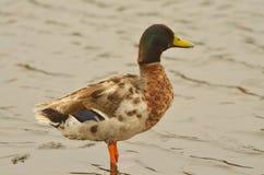 Domestic duck Stock Photos