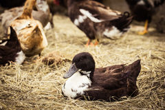 Domestic duck lying on hay. Close up. Village scene Stock Images