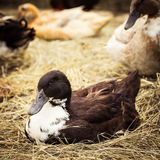Domestic duck lying on hay. Close up. Village scene Stock Photo