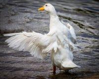 Domestic Duck Stock Image