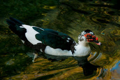 Domestic duck in a pond Stock Photography
