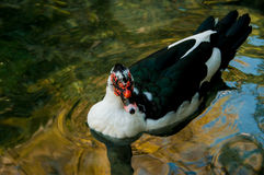 Domestic duck in a pond. On a background of water Royalty Free Stock Image