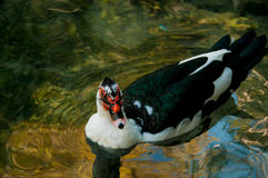 Domestic duck in a pond. On a background of water Stock Photography