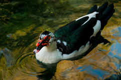 Domestic duck in a pond. On a background of water Stock Image