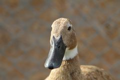 Domestic duck portrait Stock Image