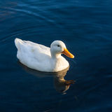 Domestic duck swimming on river. Close up of domestic duck swimming on river Royalty Free Stock Images