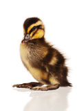 Domestic duckling Stock Photo