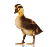 Domestic duckling Royalty Free Stock Images