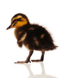 Domestic duckling Royalty Free Stock Photo