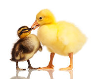 Domestic duckling and gosling Royalty Free Stock Photography