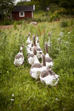 Domestic Ducks Stock Photography