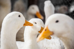 Domestic ducks Royalty Free Stock Photo