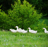 Domestic ducks Stock Photos