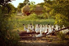 Domestic ducks. On a green meadow many domestic ducks and haystack Royalty Free Stock Photo