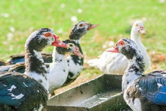 Domestic ducks near trough. On a sunny summer day Stock Images