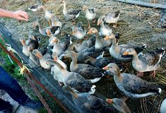 Domestic ducks in the pen, which are fed at the moment.  royalty free stock image