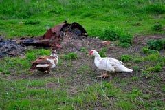 Domestic ducks. Photo taken on: April 15 Saturday, 2017 Stock Images