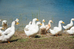 Domestic ducks on a pond Stock Image