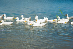 Domestic ducks on a pond Royalty Free Stock Photo