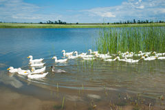 Domestic ducks on a pond Royalty Free Stock Photos