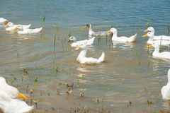 Domestic ducks on a pond Stock Photos