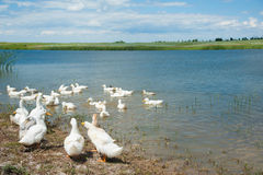 Domestic ducks on a pond Royalty Free Stock Image