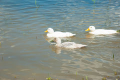 Domestic ducks on a pond Royalty Free Stock Photography