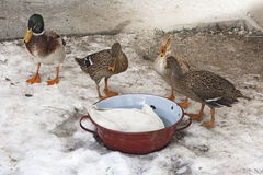Domestic ducks in a snow Stock Images