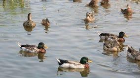 Domestic ducks Royalty Free Stock Photo