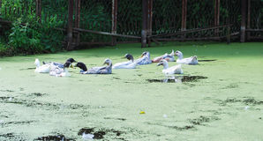 Domestic ducks swim in a pond Royalty Free Stock Photo