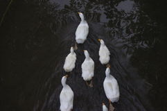 Domestic ducks swimming in the backwaters Royalty Free Stock Photography