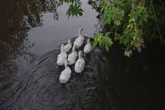 Domestic ducks swimming in the backwaters Royalty Free Stock Photos