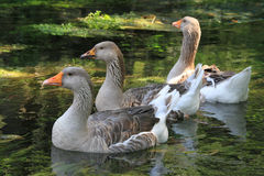 Domestic ducks are swimming in the pond. They are bright and colorful Stock Photo