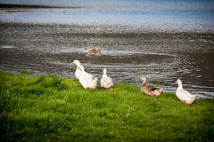 Domestic ducks to the river Stock Photo