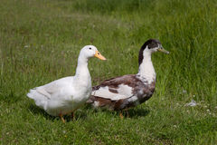 Domestic ducks Royalty Free Stock Photography