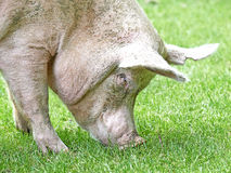 Domestic ecological pig (sus domesticus) Royalty Free Stock Photos